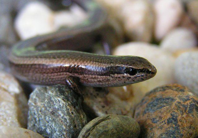 Ablepharus kitaibelii – кратконого гуштерче