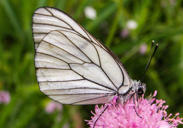 Aporia crataegi – Глогова пеперутка