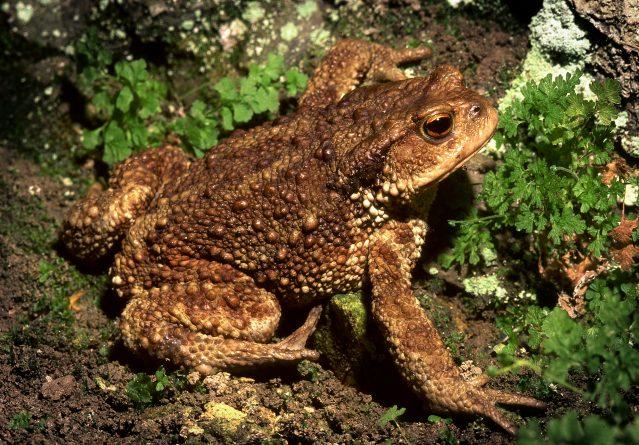 Bufo bufo – Голема крастава жаба