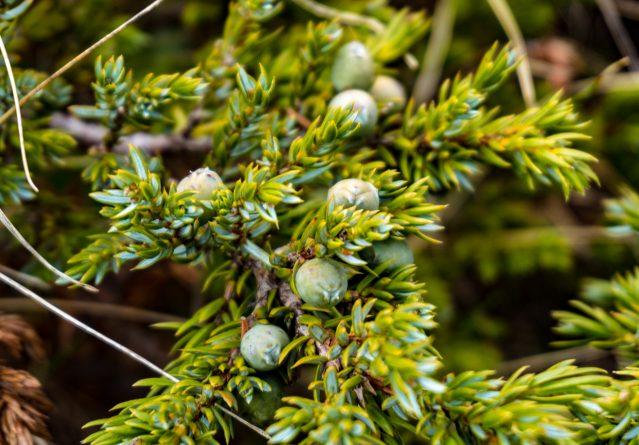 Juniperus communis – Модра смрека