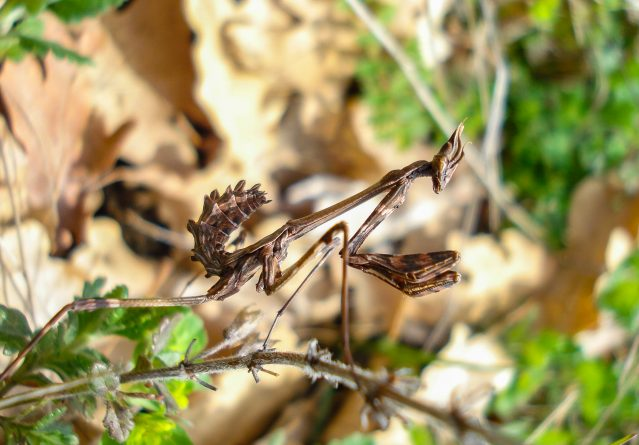 Mantis religiosa – Богомолка