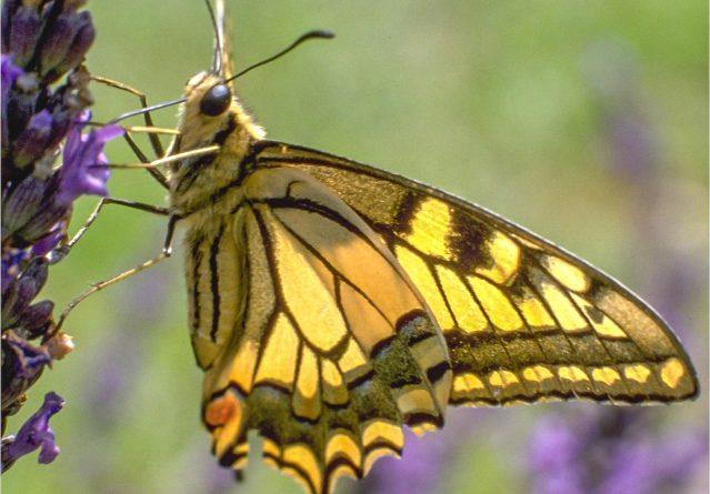 Papilio machaon – Ластовичкина опашка