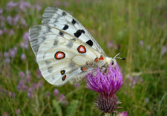 Parnassius apollo – Аполонова пеперутка