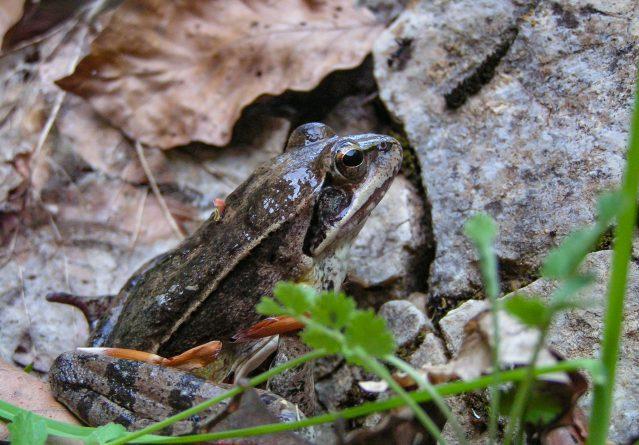 Rana dalmatina – Горска жаба