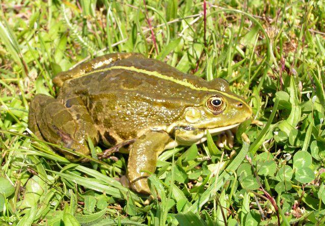 Rana ridibunda – Езерска жаба