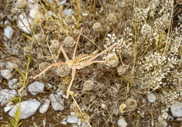 Saga pedo – Грмушест скакулец