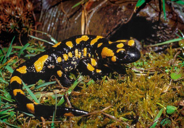 Шарен дождовник – Salamandra salamandra