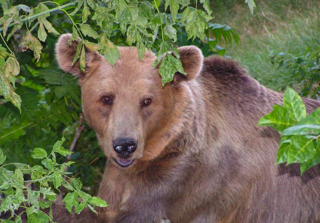 Ursus arctos – Кафеава мечка