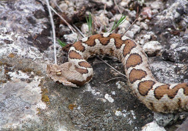 Vipera amodytes – Поскок