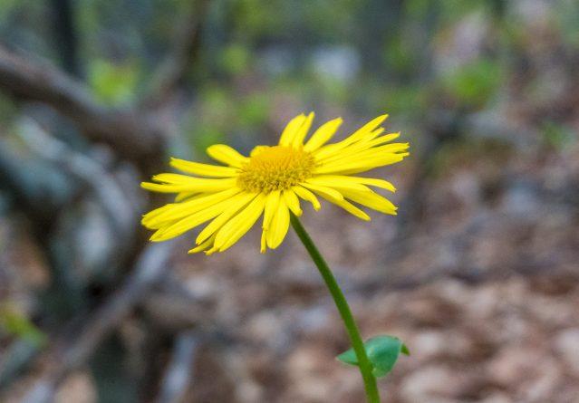 Doronicium plantagineum – Леопардов отров