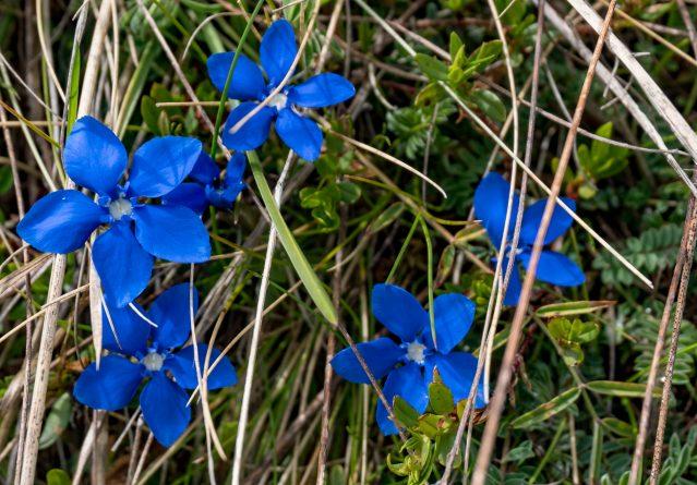 Gentiana verna – Пролетна Гентиана