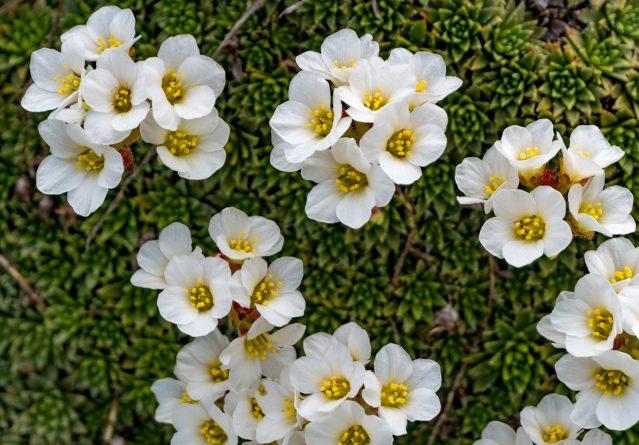Saxifraga paniculata – Алпска или планинска саксифрага