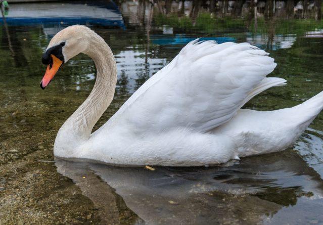 Cygnus olor – Црвеноклун лебед