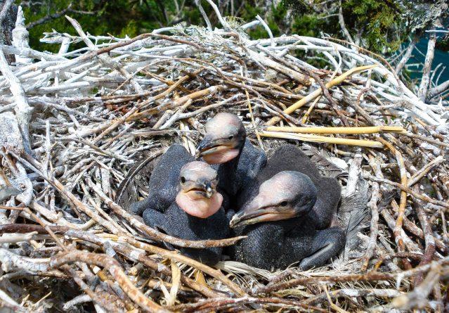 Phalacrocorax carbo – Голем корморан