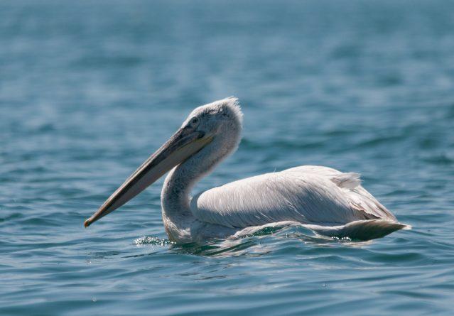 Pelecanus crispus – Кадроглав пеликан