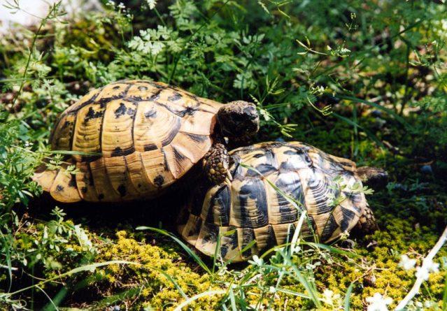 Testudo hermanni – Ридска желка