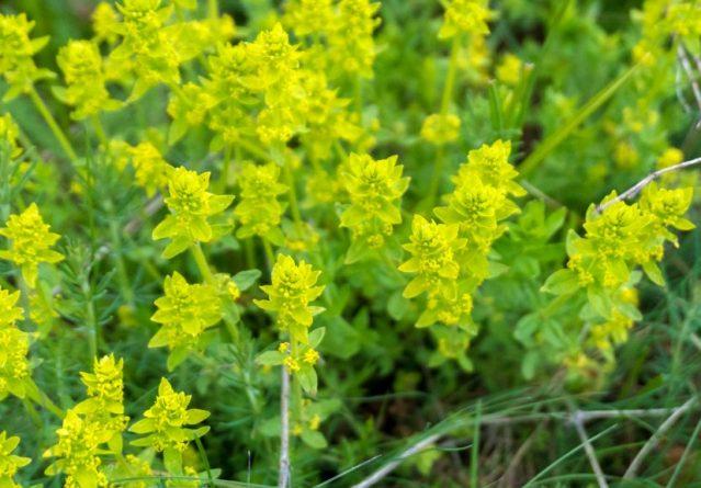 Фамилија Rubiaceae – Cruciata
