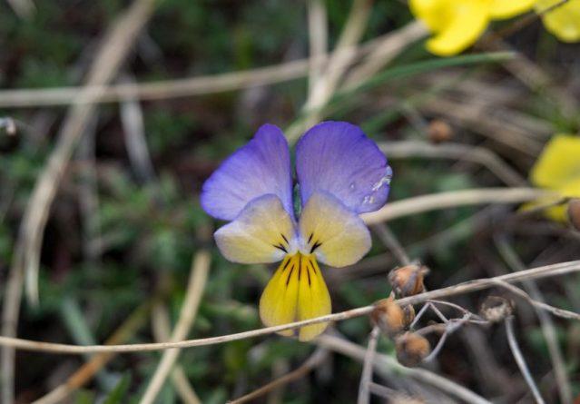 Фамилија Violaceae – Виоли